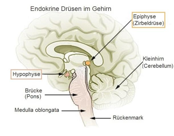 Hypophyse_und_Epiphyse (1)